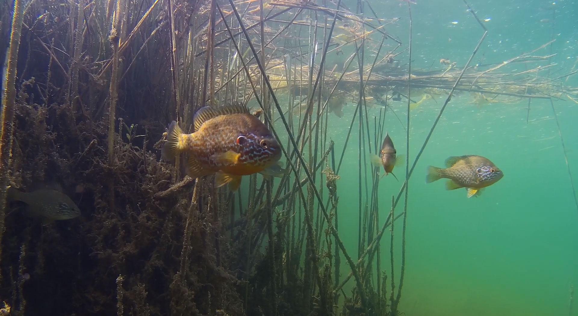 bluegill-panfish-underwater-drone.jpg