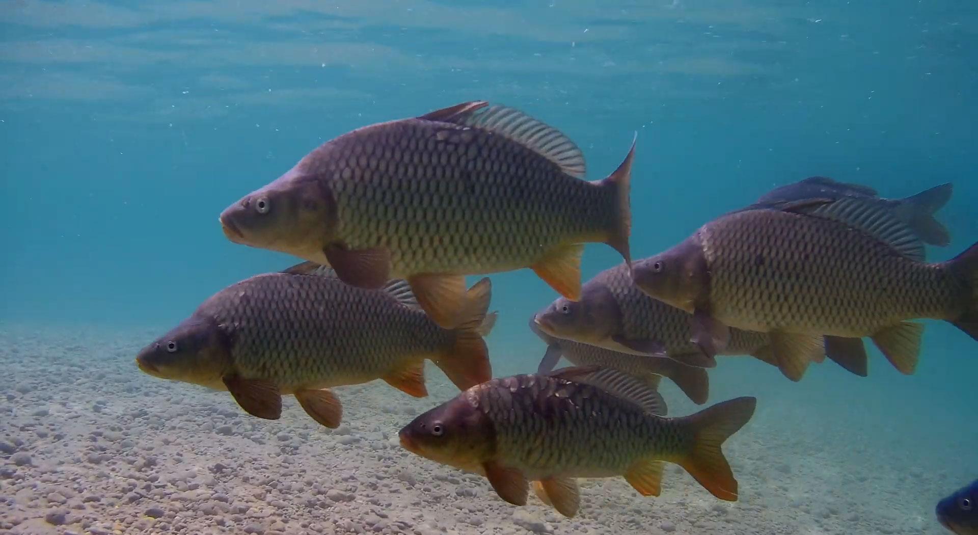 carp-underwater-drone-gladius-mini.jpg