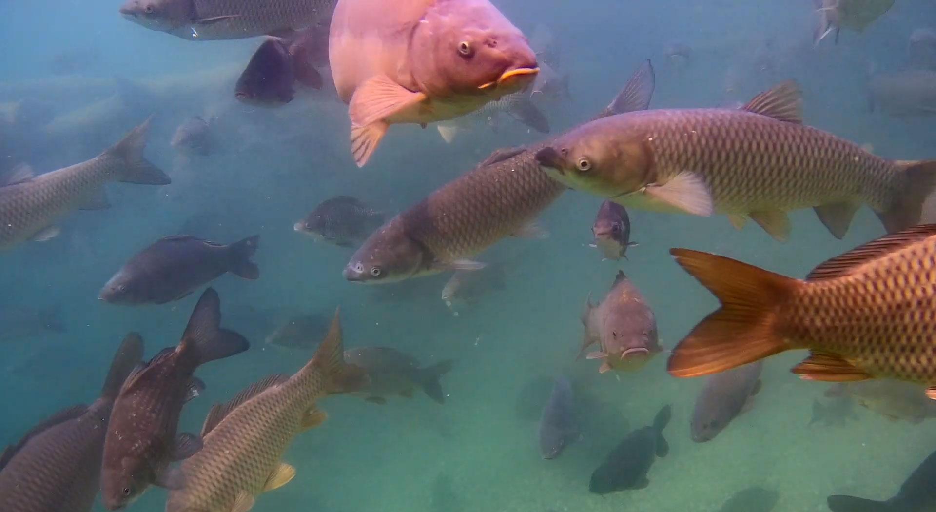 grass-carp-underwater-drone-gladius-mini.jpg