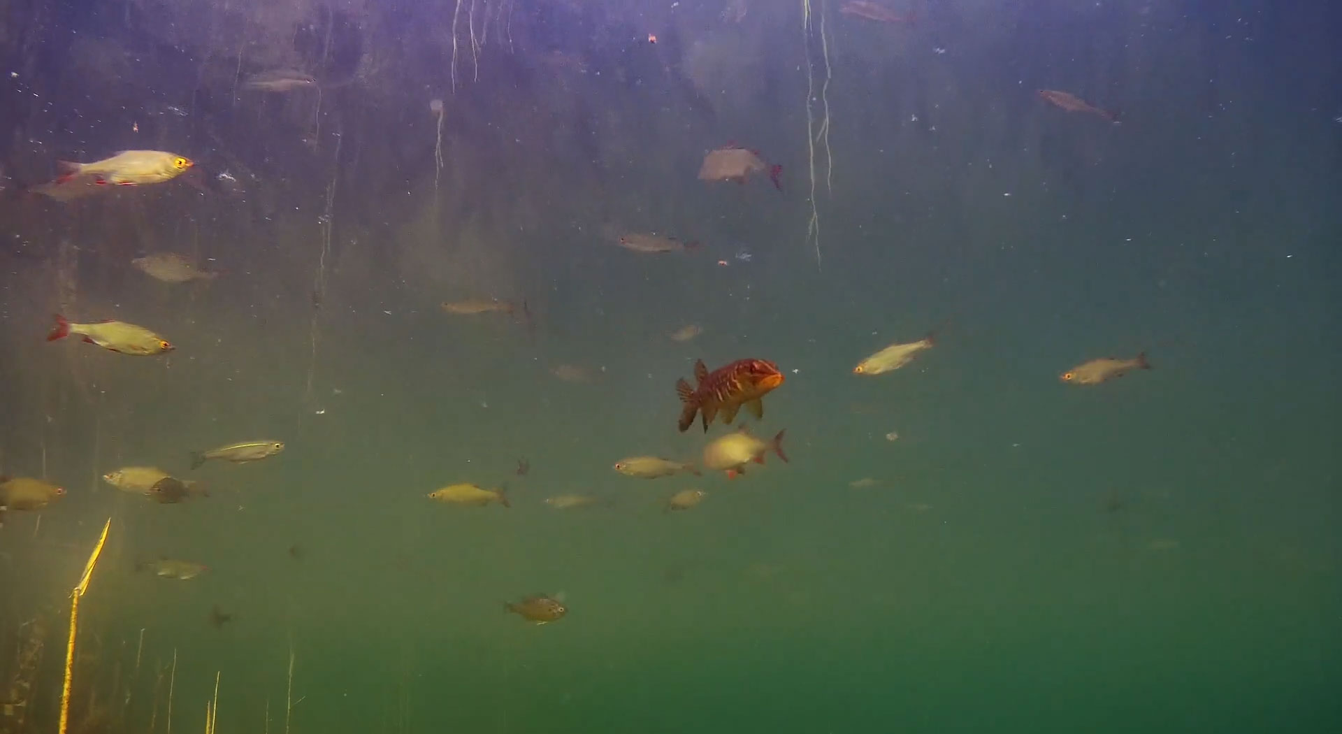 grass-pickerel-underwater-footage.jpg