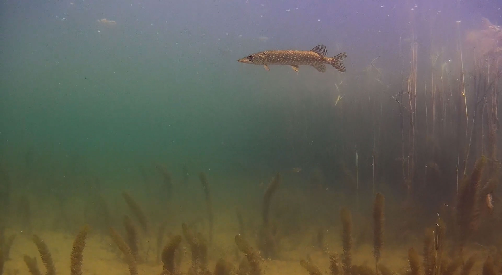 underwater-northern-pike.jpg